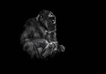 stary szympans siedzący na ciemnym tle