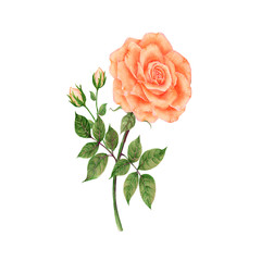 Rose Hand drawn sketch and watercolor illustrations. Watercolor painting Flowers. Rose Illustration isolated on white background.