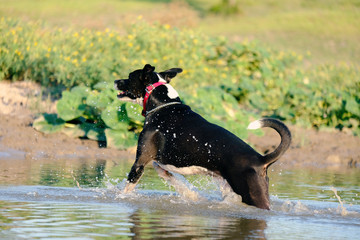 Black rescue dog running through puddle of water in farm landscape.