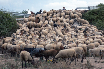 Sheep flock climb embankment