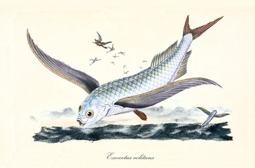 Ancient colorful illustration of Flyingfish (Exocoetus volitans), detail of the fish flying over the sea with its wings, isolated element on white background. By Edward Donovan. London 1802