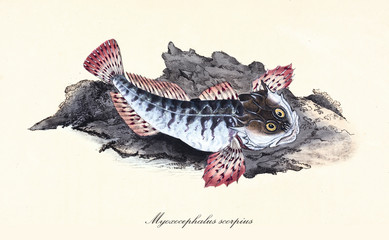Ancient colorful illustration of Sea Scorpion (Myoxocephalus scorpius), detail of a fish with its thorny fins on a rock, isolated element on white background. By Edward Donovan. London 1802