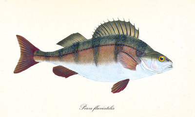 Ancient colorful illustration of European Perch (Perca fluviatilis), side view of the fish with its multicolored skin, isolated element on white background. By Edward Donovan. London 1802