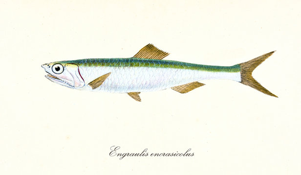 Ancient colorful illustration of European anchovy (Engraulis encrasicolus), side view of the fish with its silvery and green skin, isolated element on white background. By Edward Donovan. London 1802