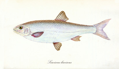Ancient colorful illustration of Common Dace (Leuciscus leuciscus), side view of the big fish with classic shape and bright skin , isolated elements on white background. By Edward Donovan. London 1802