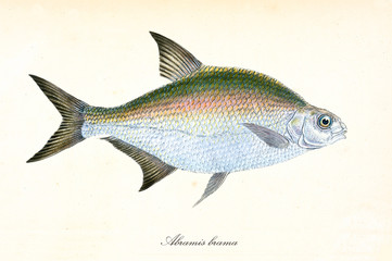Ancient colorful illustration of Common Bream (Abramis brama), side view of the multicolored fish with its long pointed fins, isolated elements on white background. By Edward Donovan. London 1802