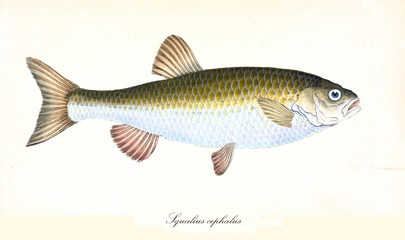 Ancient colorful illustration of Common Chub (Squalius cephalus), side view of the fish with its yellow and white skin, isolated element on white background. By Edward Donovan. London 1802
