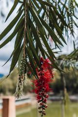 Red bottlebush close up