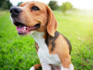 A cute beagle dog smiles.