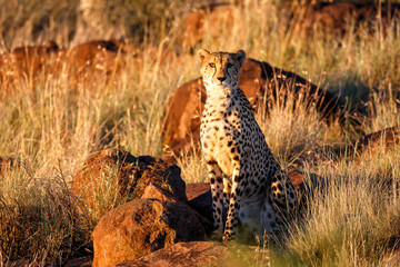 Cheetah high on the rocks looking for prey in the last sun light in Tiger Canyons Game Reserve in South Africa