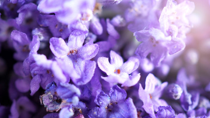 Close-up or macro images of Japan lavender bouquet bunch which freshness colorful blooming and have...