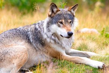 Photo sur Plexiglas Loup Large male grey wolf laying in a field in the forest