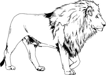 large lion drawn ink sketch in full growth