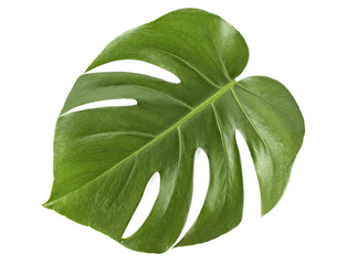 Leaf of Monstera plant on white background. Top view.