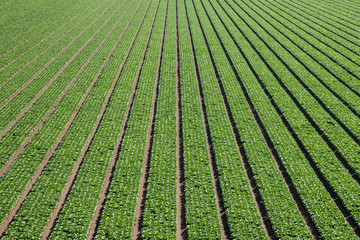 Overhead view of rows of green lettuce forming an abstract pattern of lines moving towards perspective into the distance in the Salinas Valley of California