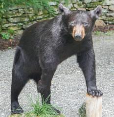 An isolated black bear