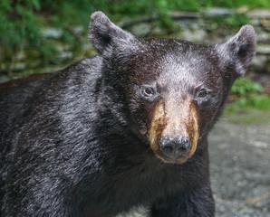 An Black Bear Isolated