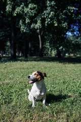 Pretty little dog breathing heavily and looking away while sitting on grass in green park on sunny day