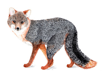 Gray fox. Watercolor illustration.