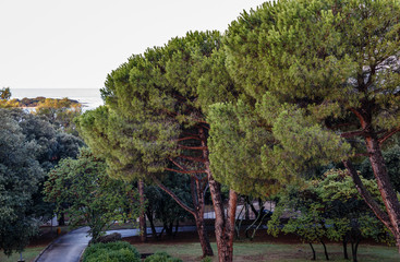 park area with large coniferous trees with beautiful, interesting trunks, but the sea is far away
