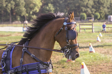Acrylic Prints Horses Portert van dravend bruin paard