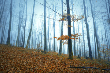 Wall Mural - Foggy autumn season forest tree landscape background.