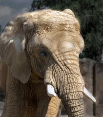 głowa słonia afrykańskiego