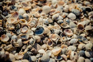 Sea shells on the Pacific coast, California