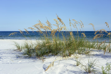 Ripe Sea Oats grace Pensacola, Florida's dazzling white beaches on the Gulf of Mexico each summer.