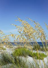 Ripe Sea Oats in Summer at Florida Beach