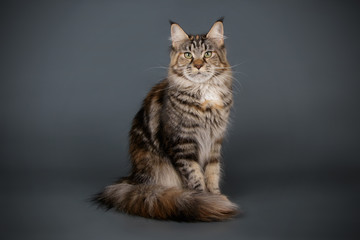 Maine Coon red cat on colored backgrounds