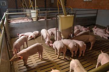 Schweinemast - AGRARMOTIVE Bilder aus der Landwirtschaft