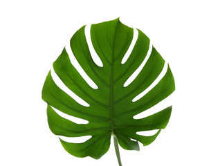 Fresh tropical monstera leaf on white background