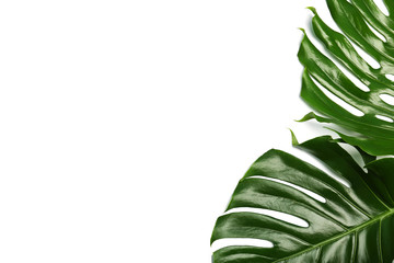Fresh tropical monstera leaves on white background, top view