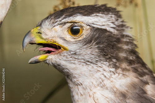 Bird Falcon Hawk Beak Animal Prey Nature Eagle Wild Raptor Predator Eye Head Wildlife Portrait Bird Of Prey Feather Hunter Brown Buzzard