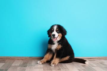 Adorable Bernese Mountain Dog puppy near color wall indoors