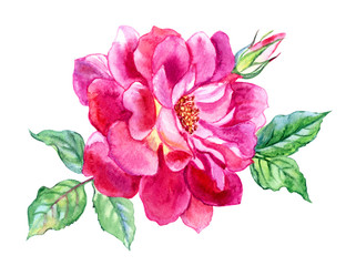 Bright pink rose with bud and leaves, watercolor drawing on white background, isolated with clipping path.