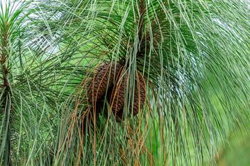 Longleaf pine (Pinus palustris) cones, multiple, brown - Davie, Florida, USA