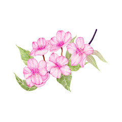Cherry Blossom Hand drawn sketch and watercolor illustrations. Watercolor painting Flower.  Cherry Blossom Illustration isolated on white background.