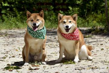 柴犬・バンダナ・唐草