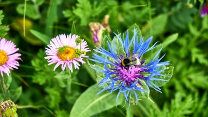 A bee collecting nectar from blue flower