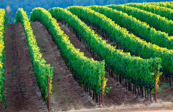 Lush green vines flow over a hill in curving rows divided by bare dirt, trunks and posts showing in an Oregon vineyard.