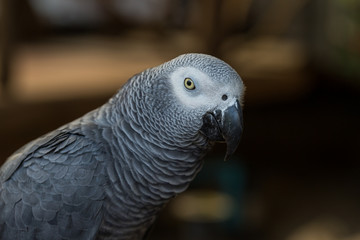 African Grey Parrot sitting on timber
