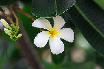 White Plumeria flowers in Thailand