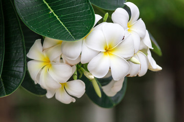 White Plumeria flowers in Thailand