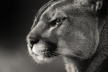 Black white face American puma, cougar