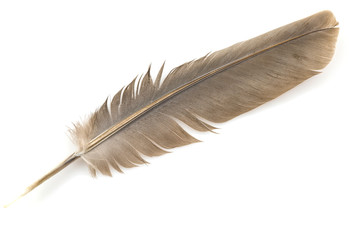 Close-up of brown feather isolated on white