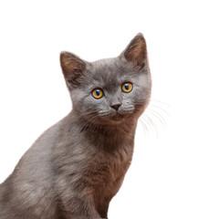 Small blue British kitten on white background.