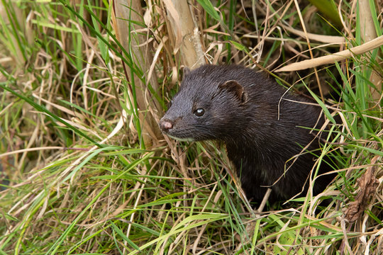 An american mink peering out of grass. It is partly concealed by the undergrowth and is looking alert facing to the left. There is copy space around the animal