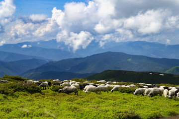 Sheeps, lambs on the mountain farm against green grass fields and beautiful cloudy sky. Warm summer photo with bright colors